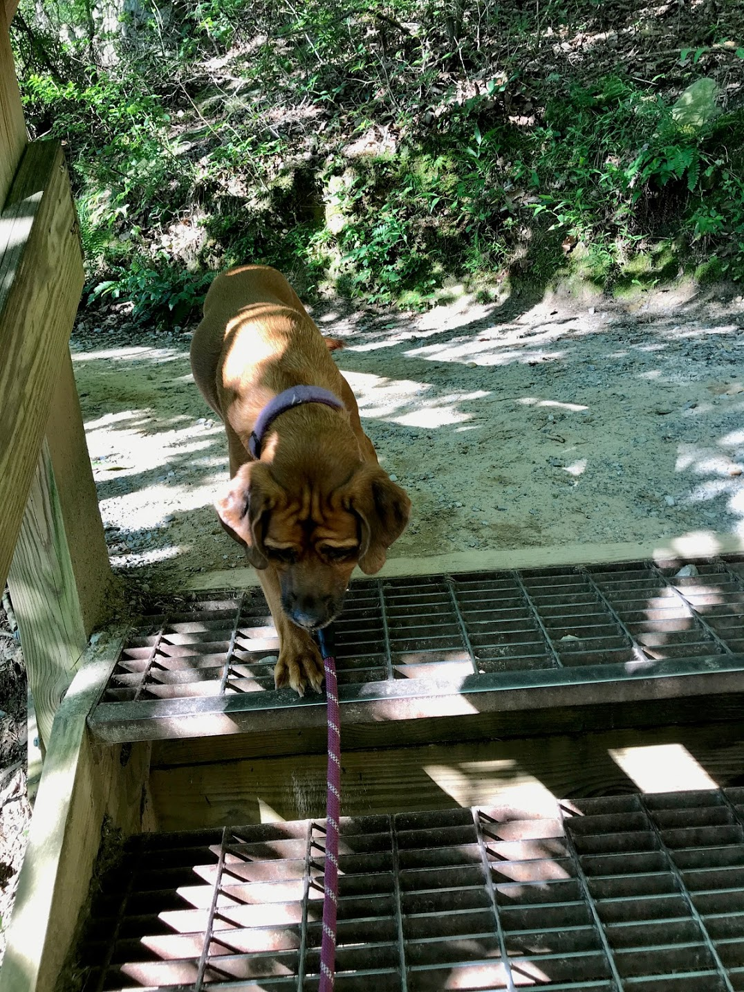 dog afraid of the steps at Cloudland Canyon State Park